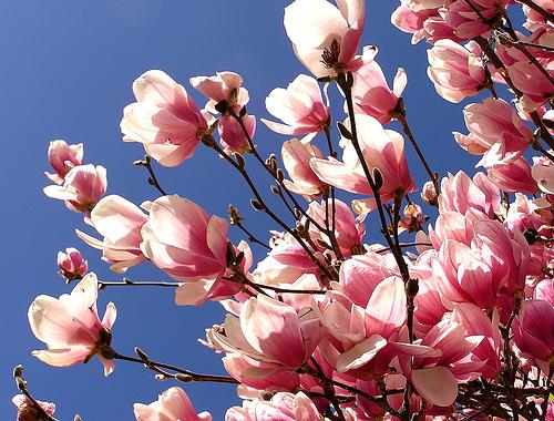 Pink Tulip Tree Simplylovegardening