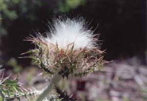 Cirsium thistledown